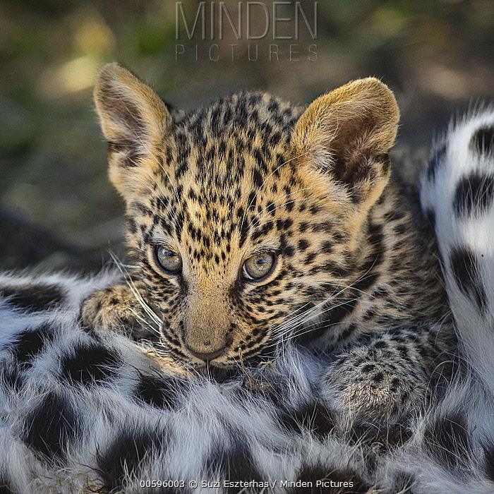 Leopard (Panthera pardus) six-week-old cub nursing, Jao Reserve, Botswana