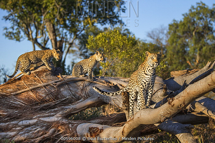 Leopard (Panthera pardus) mother and four-month-old cubs, Jao Reserve, Botswana