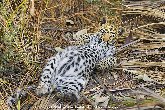 Leopard (Panthera pardus) four-month-old cub resting with a full belly after feeding, Jao Reserve, Botswana