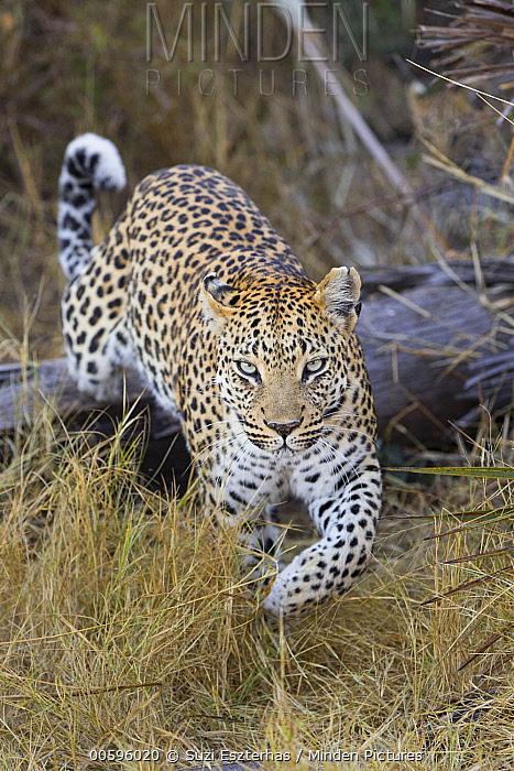 Leopard (Panthera pardus), Jao Reserve, Botswana