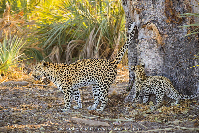 Leopard (Panthera pardus) mother marking tree with four-month-old cub, Jao Reserve, Botswana