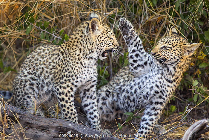 Leopard (Panthera pardus) four-month-old cubs playing, Jao Reserve, Botswana
