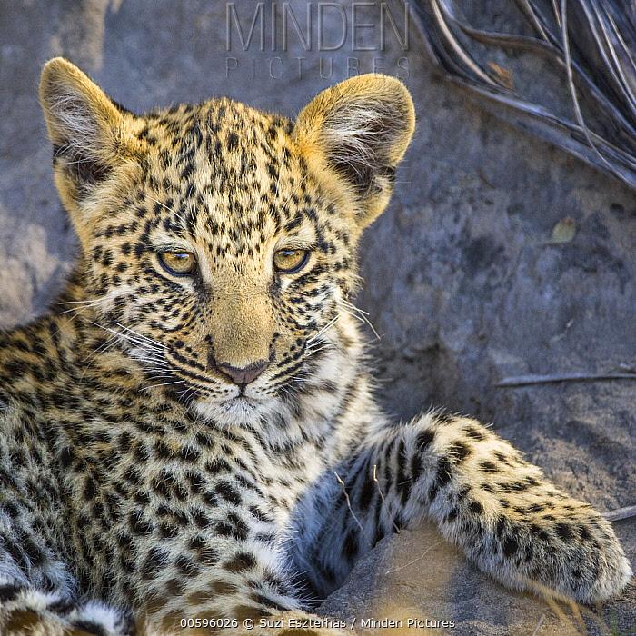 Leopard (Panthera pardus) four-month-old cub, Jao Reserve, Botswana