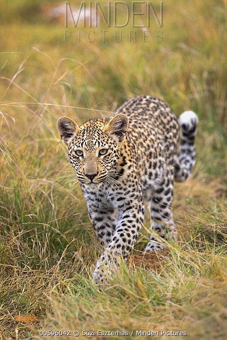 Leopard (Panthera pardus) eight-month-old cub, Jao Reserve, Botswana