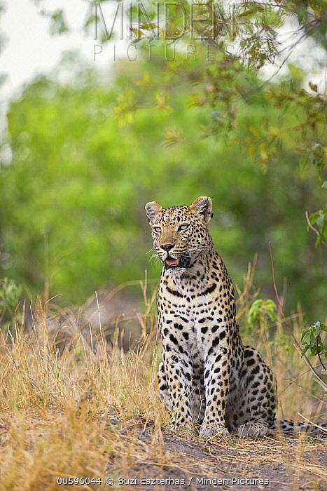 Leopard (Panthera pardus) female, Jao Reserve, Botswana