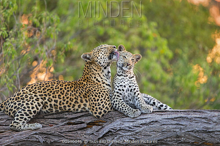 Leopard (Panthera pardus) mother grooming eight-month-old cub, Jao Reserve, Botswana