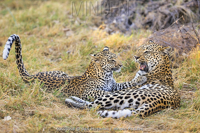 Leopard (Panthera pardus) eight-month-old cub playing with mother, Jao Reserve, Botswana