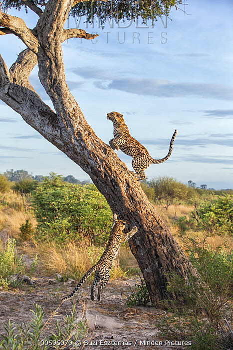 Leopard (Panthera pardus) one-year-old cub following mother up tree, Jao Reserve, Botswana