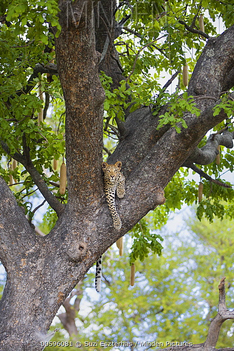 Leopard (Panthera pardus) one-year-old cub in tree, Jao Reserve, Botswana