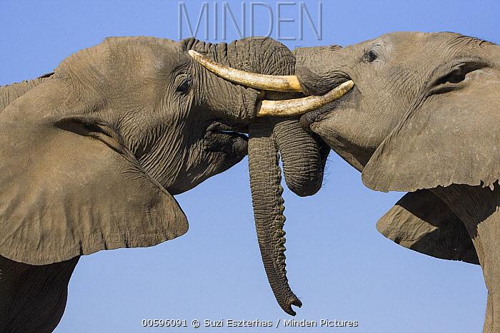 African Elephant (Loxodonta africana) pair fighting, Mashatu Game Reserve, Botswana