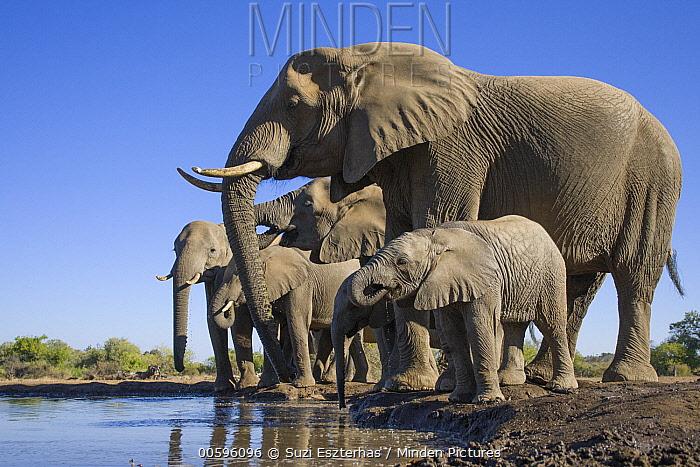 African Elephant (Loxodonta africana) herd drinking at waterhole, Mashatu Game Reserve, Botswana