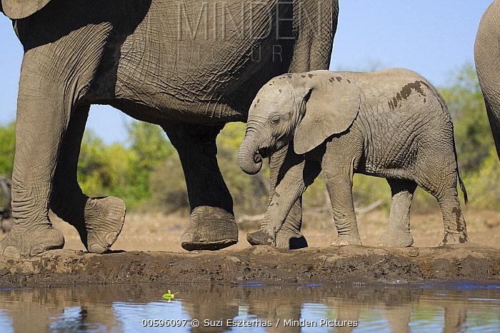 African Elephant (Loxodonta africana) calf walking along waterhole, Mashatu Game Reserve, Botswana