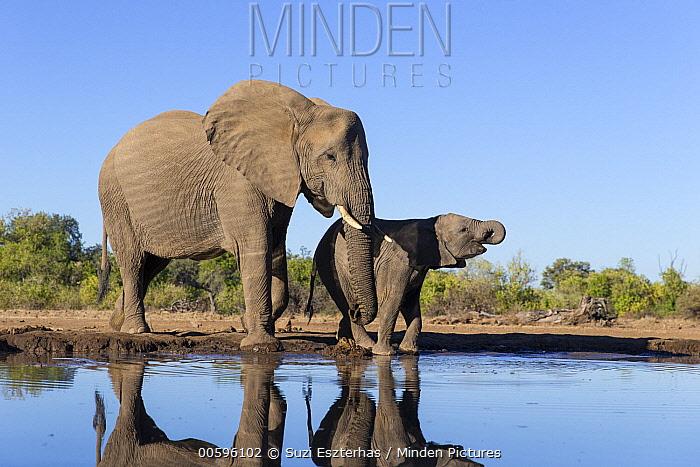 African Elephant (Loxodonta africana) mother and calf drinking at waterhole, Mashatu Game Reserve, Botswana