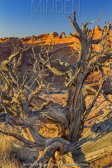 DJuniper (Juniperus sp) dead tree and Delicate Arch, Arches National Park, Utah