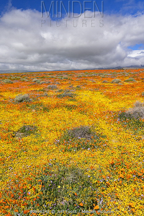 California Poppy (Eschscholzia californica) and Goldfield (Lasthenia californica) flowers, Antelope Valley, super bloom, California