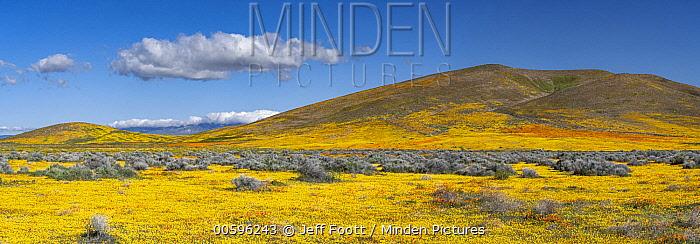 California Poppy (Eschscholzia californica) and Goldfield (Lasthenia californica) flowers,superbloom, Antelope Valley, California