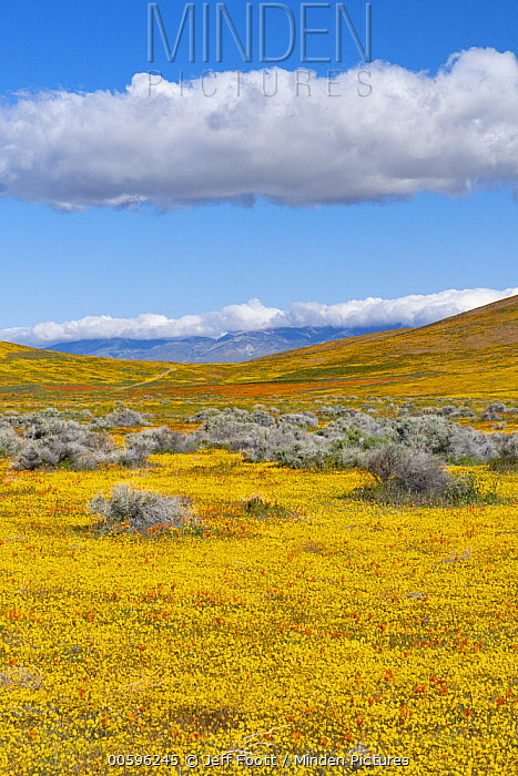 California Poppy (Eschscholzia californica) and Goldfield (Lasthenia californica) flowers,super bloom, Antelope Valley, California