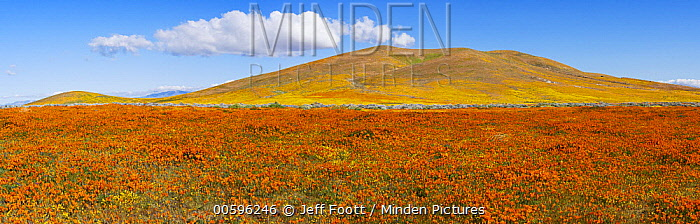 California Poppy (Eschscholzia californica) and Goldfield (Lasthenia californica) flowers, super bloom, Antelope Valley, California