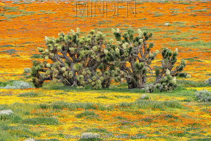 California Poppy (Eschscholzia californica) flowers and Joshua Trees (Yucca brevifolia), super bloom, Antelope Valley, California