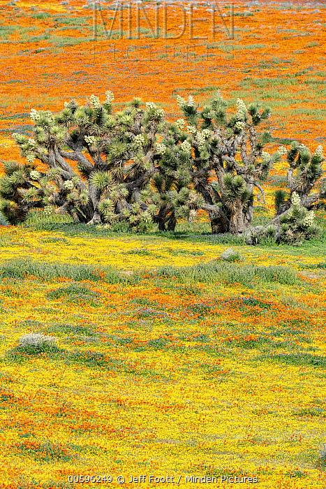 California Poppy (Eschscholzia californica) flowers and Joshua Trees (Yucca brevifolia),super bloom, Antelope Valley, California