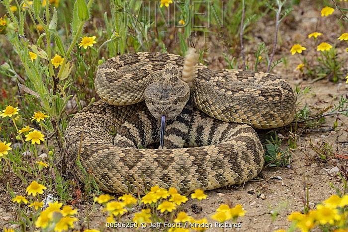 Pacific Rattlesnake (Crotalus oreganus) in defensive posture, Carrizo Plain National Monument, California