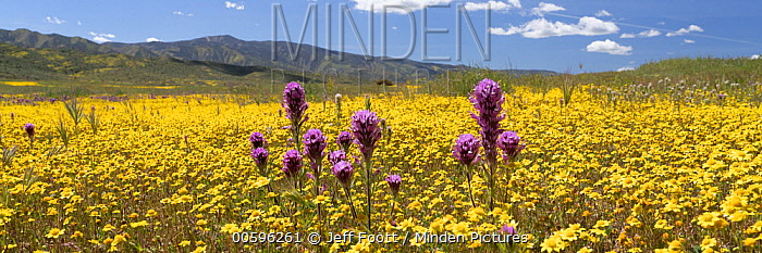 Purple Owl's Clover (Castilleja exserta) and Goldfield (Lasthenia californica) flowers, super bloom, Carrizo Plain National Monument, California