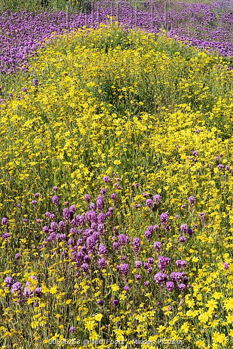 Hillside Daisy (Monolopia lanceolata) and Purple Owl's Clover (Castilleja exserta) flowers, super bloom, Carrizo Plain National Monument, California