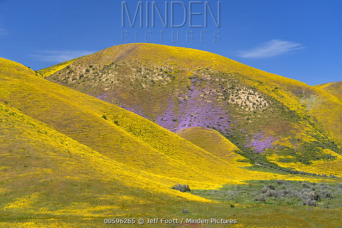 Lacy Phacelia (Phacelia tanacetifolia) and Hillside Daisy (Monolopia lanceolata) flowers, super bloom, Temblor Range, Carrizo Plain National Monument, California