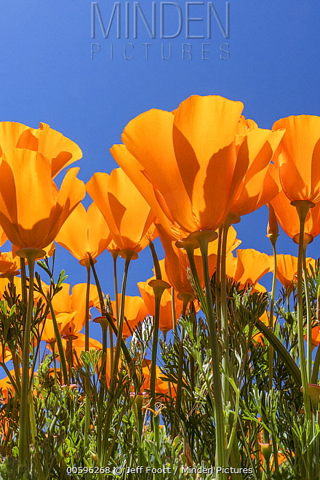 California Poppy (Eschscholzia californica) flowers, super bloom, Antelope Valley, California