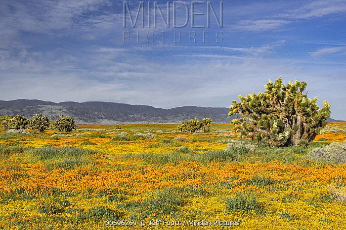 California Poppy (Eschscholzia californica) flowers and Joshua Tree (Yucca brevifolia), super bloom, Antelope Valley, California