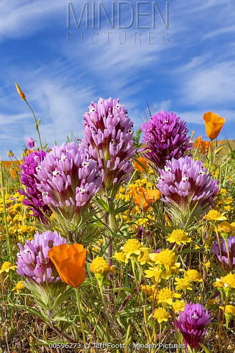 California Poppy (Eschscholzia californica), Purple Owl's Clover (Castilleja exserta) and Goldfield (Lasthenia californica) flowers, super bloom, Antelope Valley, California