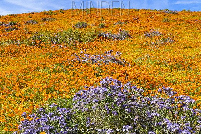 California Poppy (Eschscholzia californica) and Lacy Phacelia (Phacelia tanacetifolia) flowers,super bloom, Antelope Valley, California