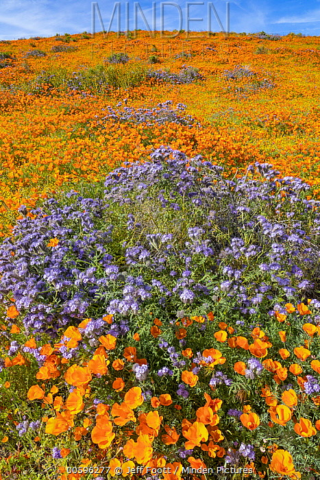 California Poppy (Eschscholzia californica) and Lacy Phacelia (Phacelia tanacetifolia) flowers, super bloom, super bloom, Antelope Valley, California