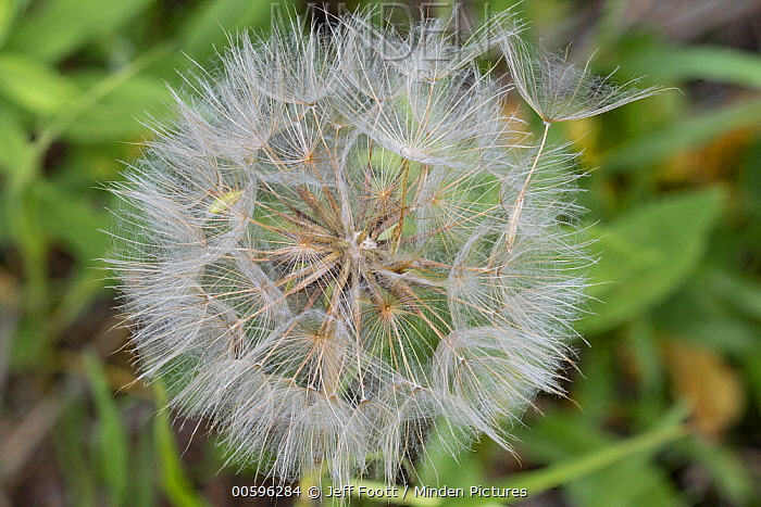 Meadow Salsify (Tragopogon pratensis) seedhead, Grand Teton National Park, Wyoming