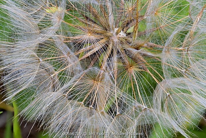 Meadow Salsify (Tragopogon pratensis) seedhead, Grand Teton National Park, Wyoming
