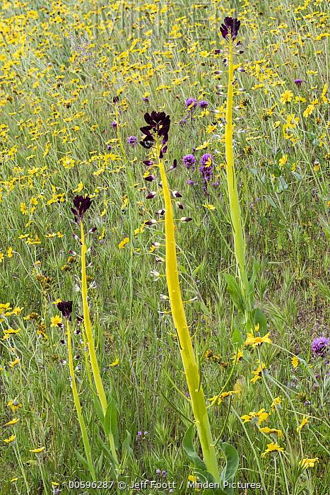Desert Candle (Caulanthus inflatus) flowers, Carrizo Plain National Monument, California