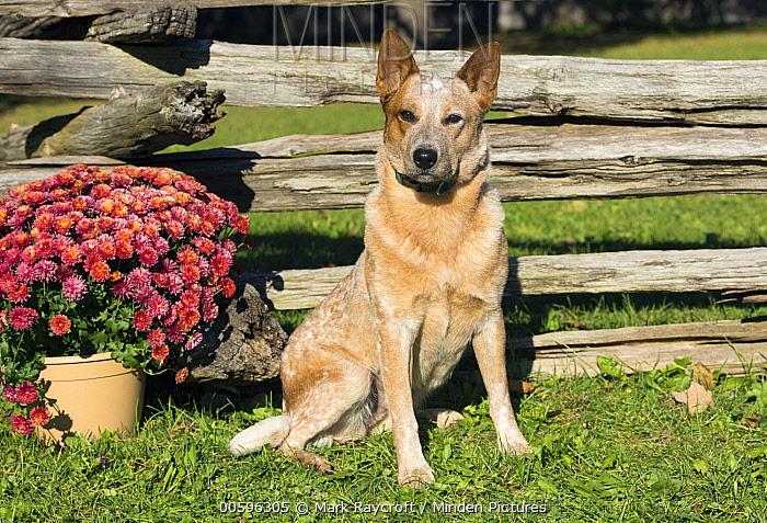 Australian Cattle Dog (Canis familiaris), North America