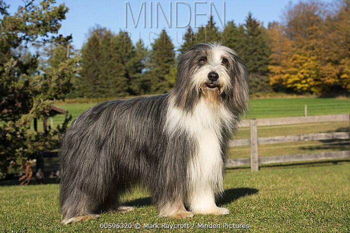 Bearded Collie (Canis familiaris), North America