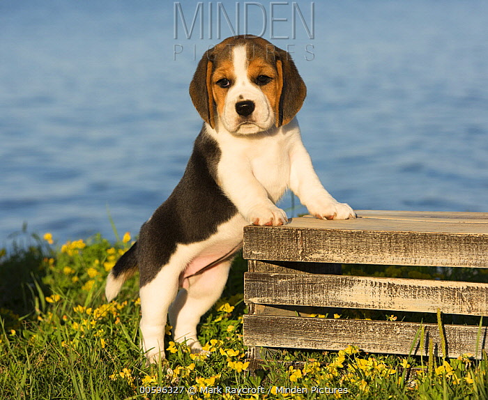 Beagle (Canis familiaris) puppy, North America