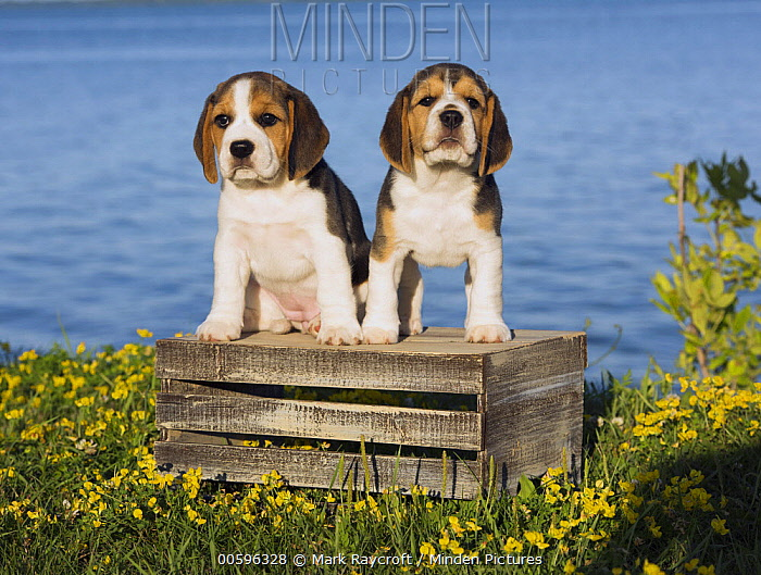 Beagle (Canis familiaris) puppies, North America