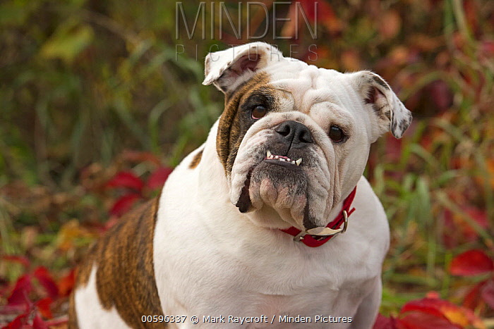 Bulldog (Canis familiaris), North America