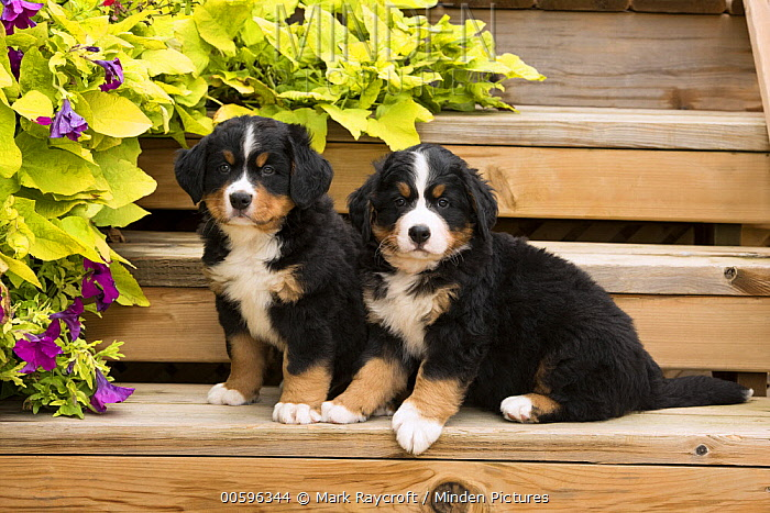 Bernese Mountain Dog (Canis familiaris) puppies, North America