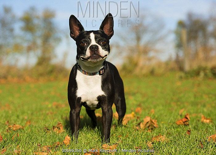 Boston Terrier (Canis familiaris), North America