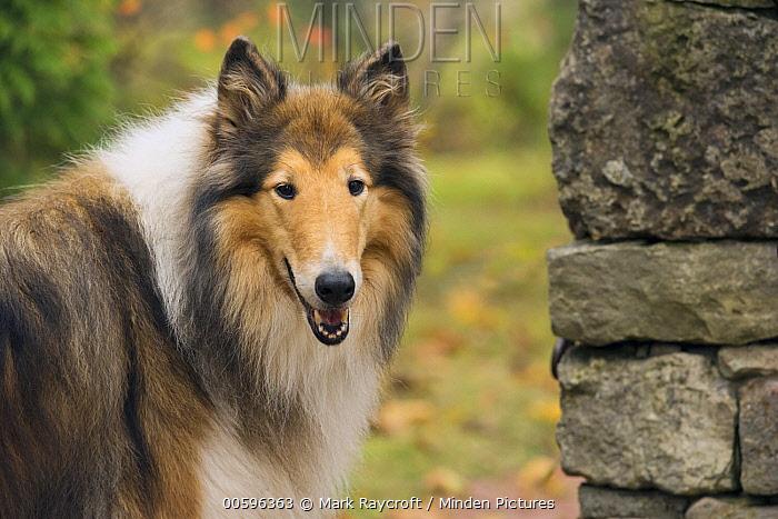 Collie (Canis familiaris), North America