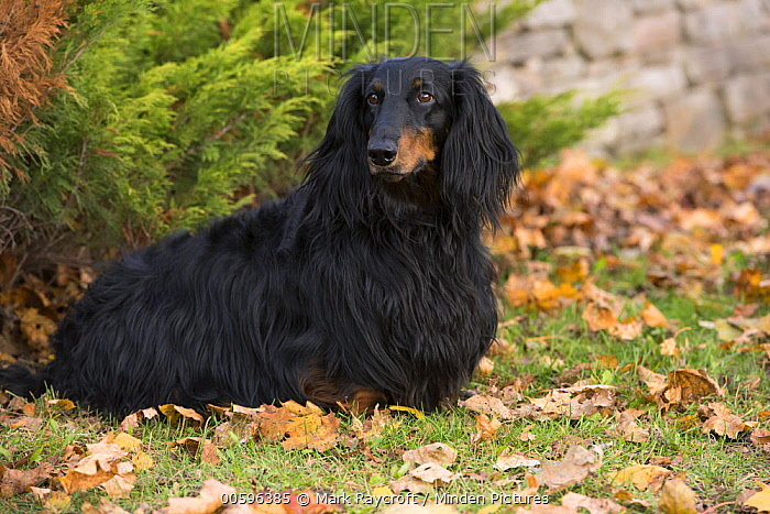 Standard Long-haired Dachshund (Canis familiaris), North America
