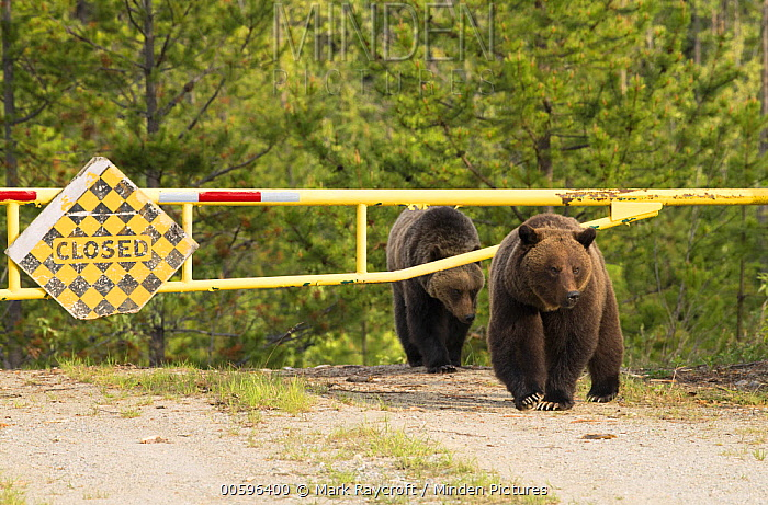 Grizzly Bear (Ursus arctos horribilis) mother and yearling on road, North America