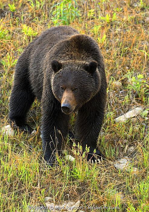 Grizzly Bear (Ursus arctos horribilis), North America
