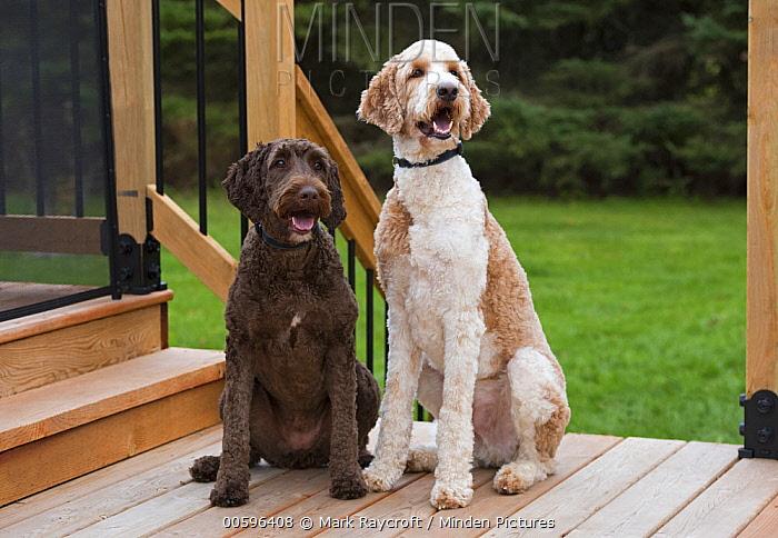Goldendoodle (Canis familiaris) pair, North America