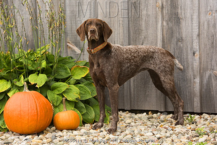 German Shorthaired Pointer (Canis familiaris) in autumn, North America