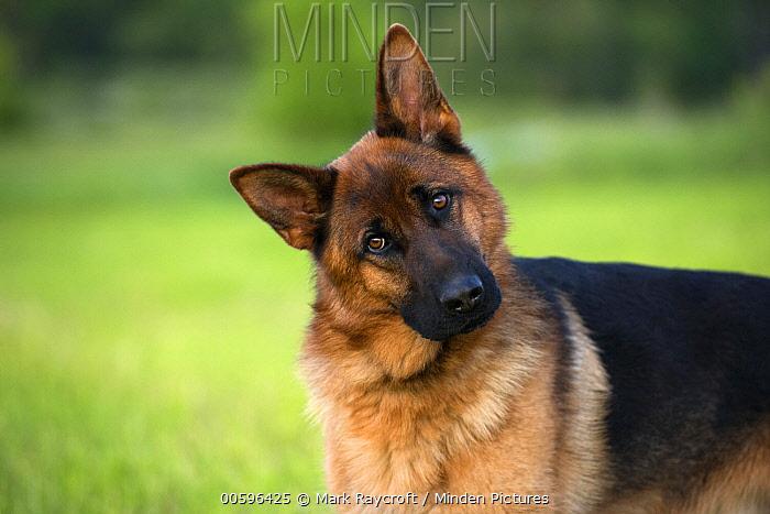 German Shepherd (Canis familiaris), North America